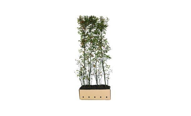 Quickhedge Krentenboomhaag - 200 cm • Gras en Groen Winkel