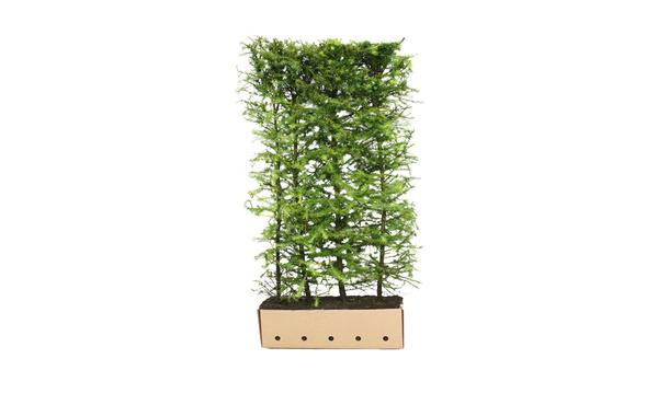 Quickhedge Japanse Lariks - 200 cm • Gras en Groen Winkel