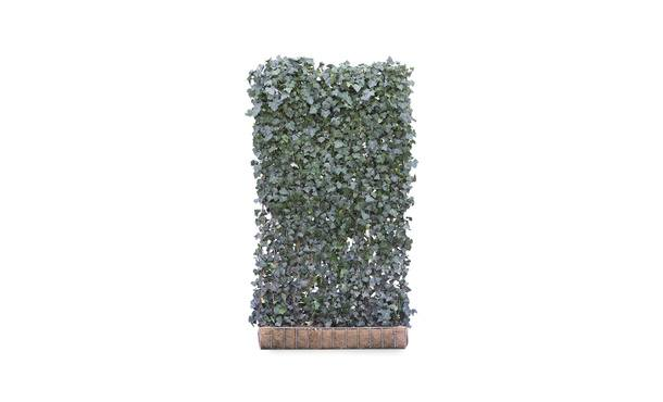 Kant-en-klaar Hedera Woerner - 220 cm • Gras en Groen Winkel