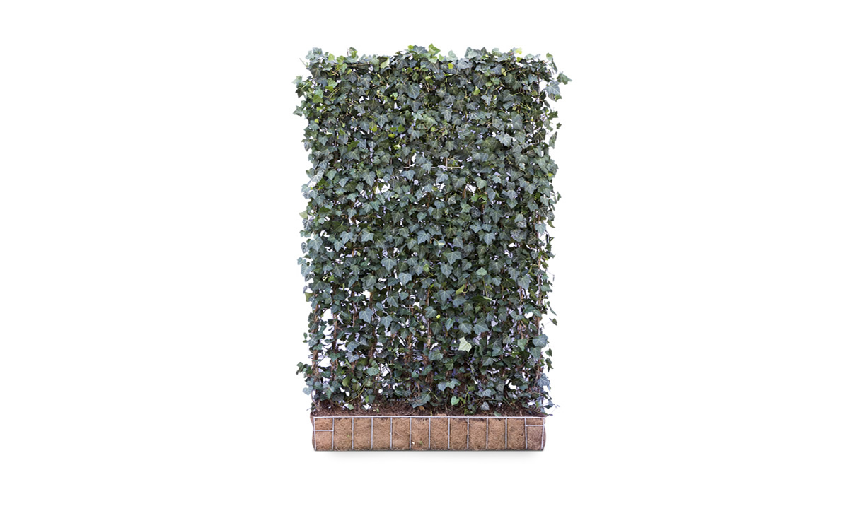 Kant-en-klaar Hedera Woerner - 200 cm • Gras en Groen Winkel