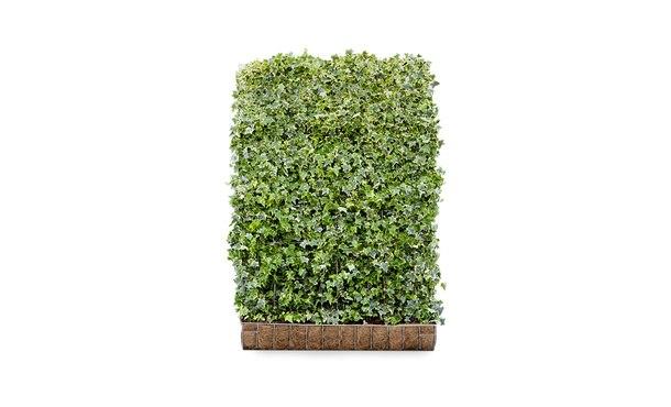 Kant-en-klaar Hedera Goldchild 180 cm • Gras en Groen Winkel