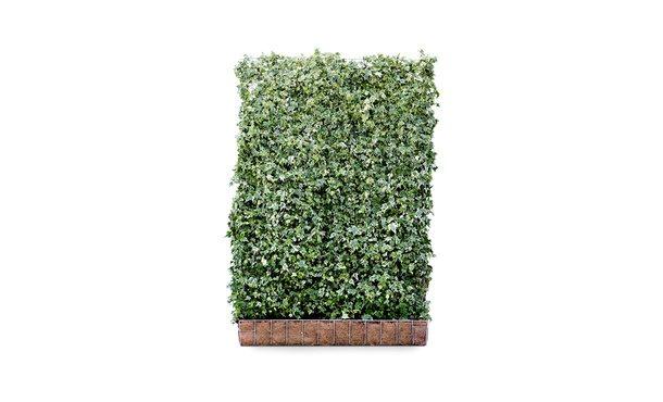 Kant-en-klaar Hedera White Ripple - 180 cm • Gras en Groen Winkel