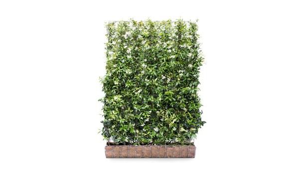 Kant-en-klaar Toscaanse Jasmijn - 180 cm • Gras en Groen Winkel