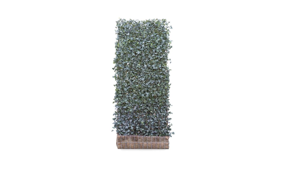 Kant-en-klaar Hedera Woerner - 300 cm • Gras en Groen Winkel
