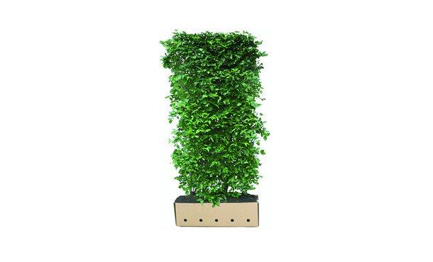 Quickhedge Gele Kornoelje - 200 cm • Gras en Groen Winkel