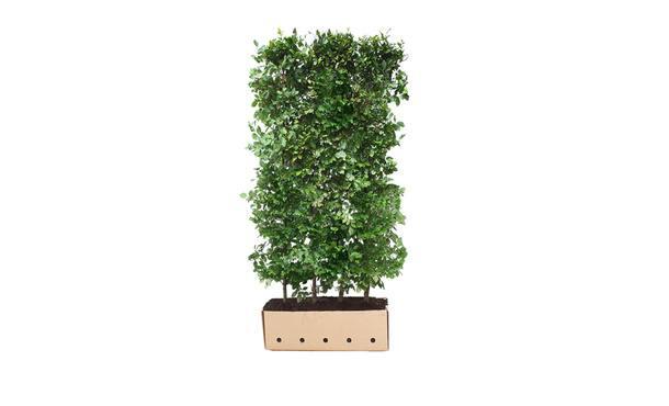 Quickhedge beukenhaag - 200 cm • Gras en Groen Winkel