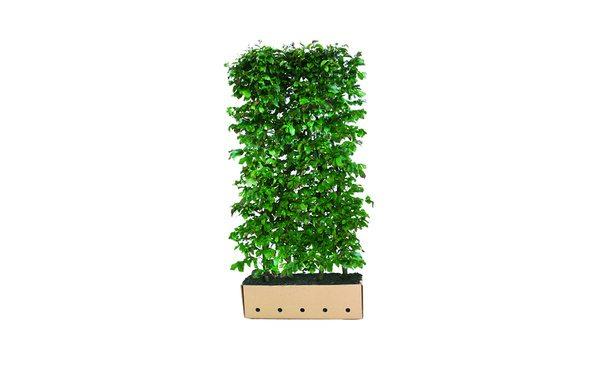 Quickhedge Perzisch Ijzerhout - 200 cm • Gras en Groen Winkel