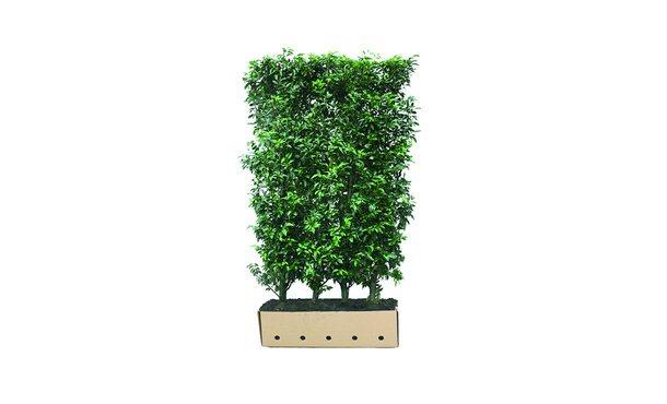 Quickhedge Portugese laurier - 200 cm • Gras en Groen Winkel