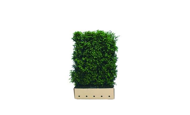 Quickhedge Taxushaag - 200 cm • Gras en Groen Winkel