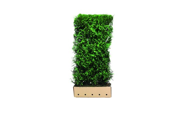 Quickhedge Conifeer 'Martin' - 200 cm • Gras en Groen Winkel