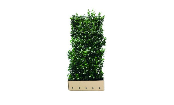 Quickhedge Toscaanse Jasmijn - 180 cm • Gras en Groen Winkel